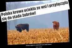 Krowa i żubr