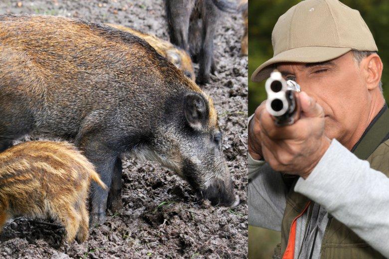 Rząd Zabije 210 Tys Dzików I Każdego Kogo łatwo Pomylić Z Dzikiem