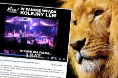 Treserzy z cyrku Vegas znęcali się nad lwami. Trwa zbiórka podpisów pod petycją o cyrk bez zwierząt.